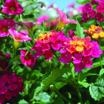 Lantana Cherry Sunrise by Syngenta Flowers - Year of the Lantana - National Garden Bureau