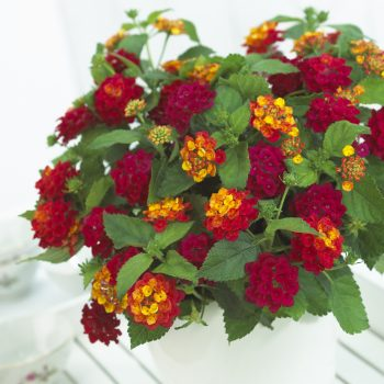 Lantana Bandana Cherry by Syngenta Flowers - Year of the Lantana - National Garden Bureau