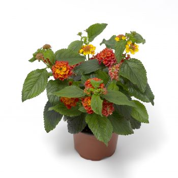 Lantana Bandana Landscape Clementine Cherry by Syngenta Flowers - Year of the Lantana - National Garden Bureau