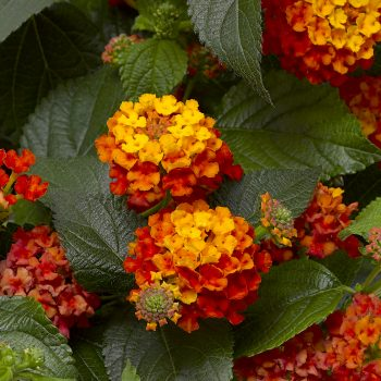 Lantana Bandana Landscape Clementine by Syngenta Flowers - Year of the Lantana - National Garden Bureau