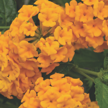 Lantana Bandana Landscape Gold by Syngenta Flowers - Year of the Lantana - National Garden Bureau
