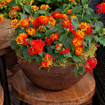 Lantana Bandana Landscape Red by Syngenta Flowers - Year of the Lantana - National Garden Bureau