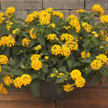 Lantana Bandana Landscape Yellow by Syngenta Flowers - Year of the Lantana - National Garden Bureau