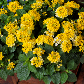 Lantana Bandana Lemon Zest by Syngenta Flowers - Year of the Lantana - National Garden Bureau
