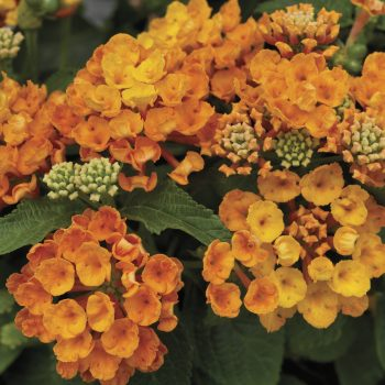 Lantana Bandana Orange by Syngenta Flowers - Year of the Lantana - National Garden Bureau