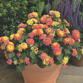 Lantana Bandana Peach by Syngenta Flowers - Year of the Lantana - National Garden Bureau