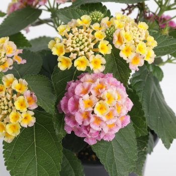 Lantana Bandana Pink Imp by Syngenta Flowers - Year of the Lantana - National Garden Bureau