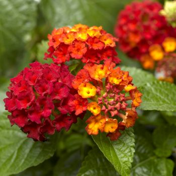 Lantana Bandana Red by Syngenta Flowers - Year of the Lantana - National Garden Bureau