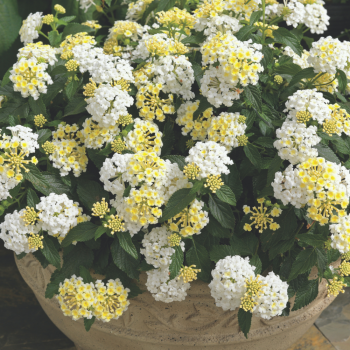 Lantana Bandana White by Syngenta Flowers - Year of the Lantana - National Garden Bureau