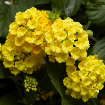 Lantana Bandana Yellow by Syngenta Flowers - Year of the Lantana - National Garden Bureau