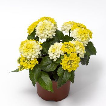 Lantana Bandito Lemon Zest by Syngenta Flowers - Year of the Lantana - National Garden Bureau