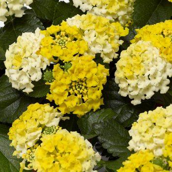 Lantana Bandito Lemon Zest Cherry by Syngenta Flowers - Year of the Lantana - National Garden Bureau