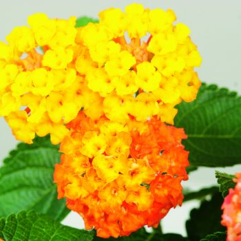 Lantana Bandito Orange Sunrise by Syngenta Flowers - Year of the Lantana - National Garden Bureau