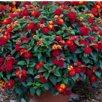 Lantana Bandito Red by Syngenta Flowers - Year of the Lantana - National Garden Bureau