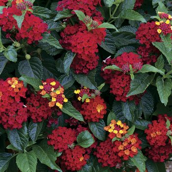 Lantana Bandito Red by Parkseed - Year of the Lantana - National Garden Bureau