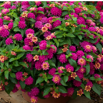 Lantana Bandito Rose by Syngenta Flowers - Year of the Lantana - National Garden Bureau