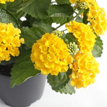 Lantana Bandito Yellow by Syngenta Flowers - Year of the Lantana - National Garden Bureau
