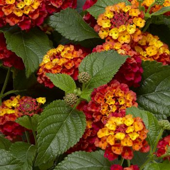 Lantana Bandolero Guava by Syngenta Flowers - Year of the Lantana - National Garden Bureau