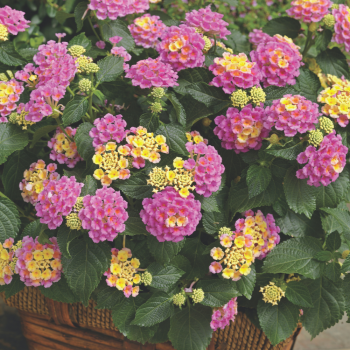 Lantana Bandolero Pink by Syngenta Flowers - Year of the Lantana - National Garden Bureau