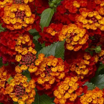 Lantana Bandolero Red by Syngenta Flowers - Year of the Lantana - National Garden Bureau