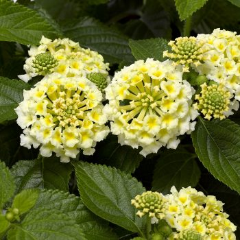 Lantana Bandolero White by Syngenta Flowers - Year of the Lantana - National Garden Bureau