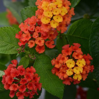 Lantana Bloomify Red by Ball Flora - Year of the Lantana - National Garden Bureau