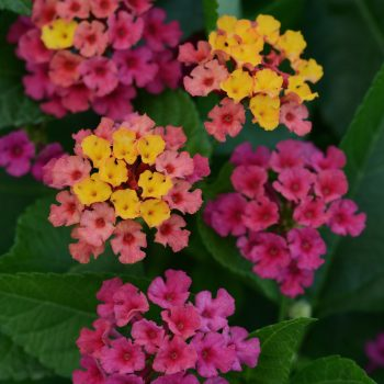 Lantana Bloomify Rose by Ball Flora - Year of the Lantana - National Garden Bureau