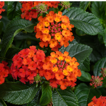 Lantana Gem Compact Orange Fire by Danziger- Year of the Lantana - National Garden Bureau