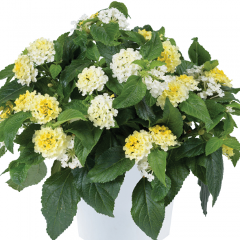 Lantana Gem Compact Yellow Diamond by Danziger - Year of the Lantana - National Garden Bureau