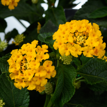 Lantana Gem Gold by Danziger - Year of the Lantana - National Garden Bureau