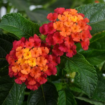 Lantana Gem Ruby by Danziger - Year of the Lantana - National Garden Bureau