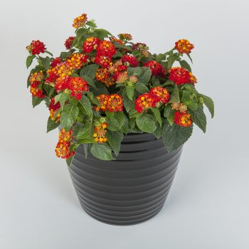 Lantana Hot Blooded Red by Syngenta Flowers - Year of the Lantana - National Garden Bureau