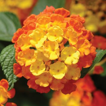 Lantana Landmark Cirtus by Ball Flora - Year of the Lantana - National Garden Bureau