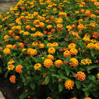 Lantana Landmark Citrus by Ball Flora - Year of the Lantana - National Garden Bureau