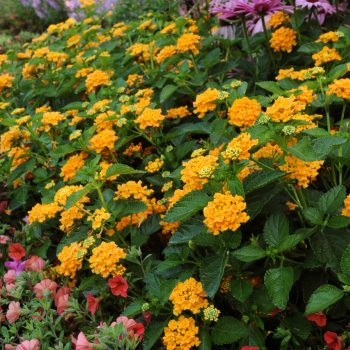 Lantana Landmark Gold by Ball Flora - Year of the Lantana - National Garden Bureau
