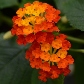 Lantana Landmark Red by Ball Flora - Year of the Lantana - National Garden Bureau