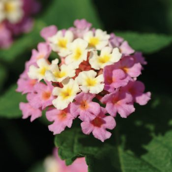 Lantana Landmark Rose Glow by Ball Flora - Year of the Lantana - National Garden Bureau