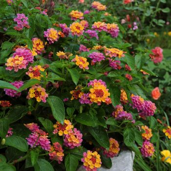 Lantana Landmark Sunrise Rose by Ball Flora - Year of the Lantana - National Garden Bureau