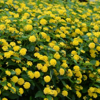 Lantana Landmark Yellow by Ball Flora - Year of the Lantana - National Garden Bureau