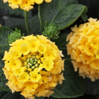 Lantana Lemon Nectar™ by Westhoff - Year of the Lantana - National Garden Bureau