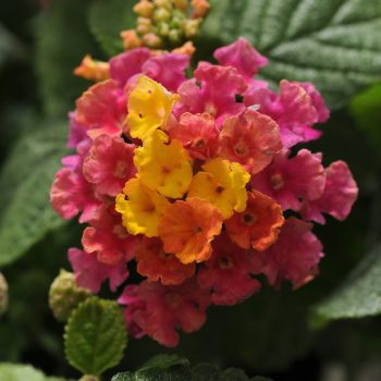 Lantana Little Lucky Hot Pink by Ball Flora - Year of the Lantana - National Garden Bureau