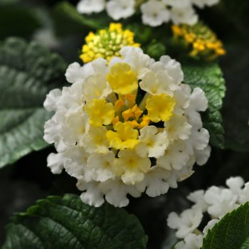 Lantana Little Lucky Lemon Cream by Ball Flora - Year of the Lantana - National Garden Bureau