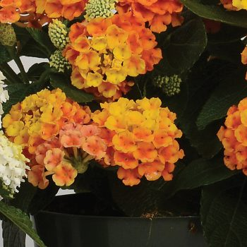 Lantana Little Lucky Orange by Ball Flora - Year of the Lantana - National Garden Bureau