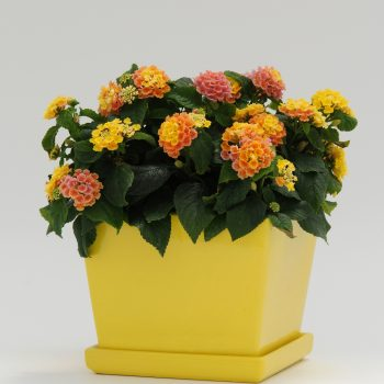 Lantana Little Lucky Peach Glow by Ball Flora - Year of the Lantana - National Garden Bureau