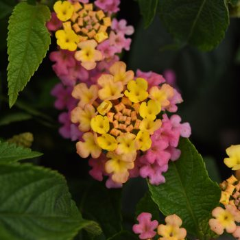Lantana Little Lucky Pink by Ball Flora - Year of the Lantana - National Garden Bureau