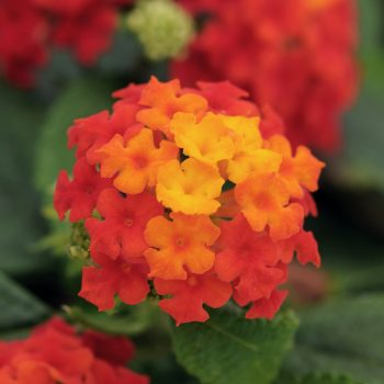 Lantana Little Lucky Red by Ball Flora - Year of the Lantana - National Garden Bureau