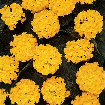 Lantana Lucky Yellow by Ball Flora - Year of the Lantana - National Garden Bureau