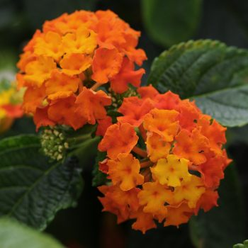Lantana Lucky Flame by Ball Flora - Year of the Lantana - National Garden Bureau