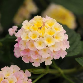 Lantana Lucky Lavender by Ball Flora - Year of the Lantana - National Garden Bureau