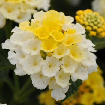 Lantana Lucky Lemon Glow by Ball Flora - Year of the Lantana - National Garden Bureau